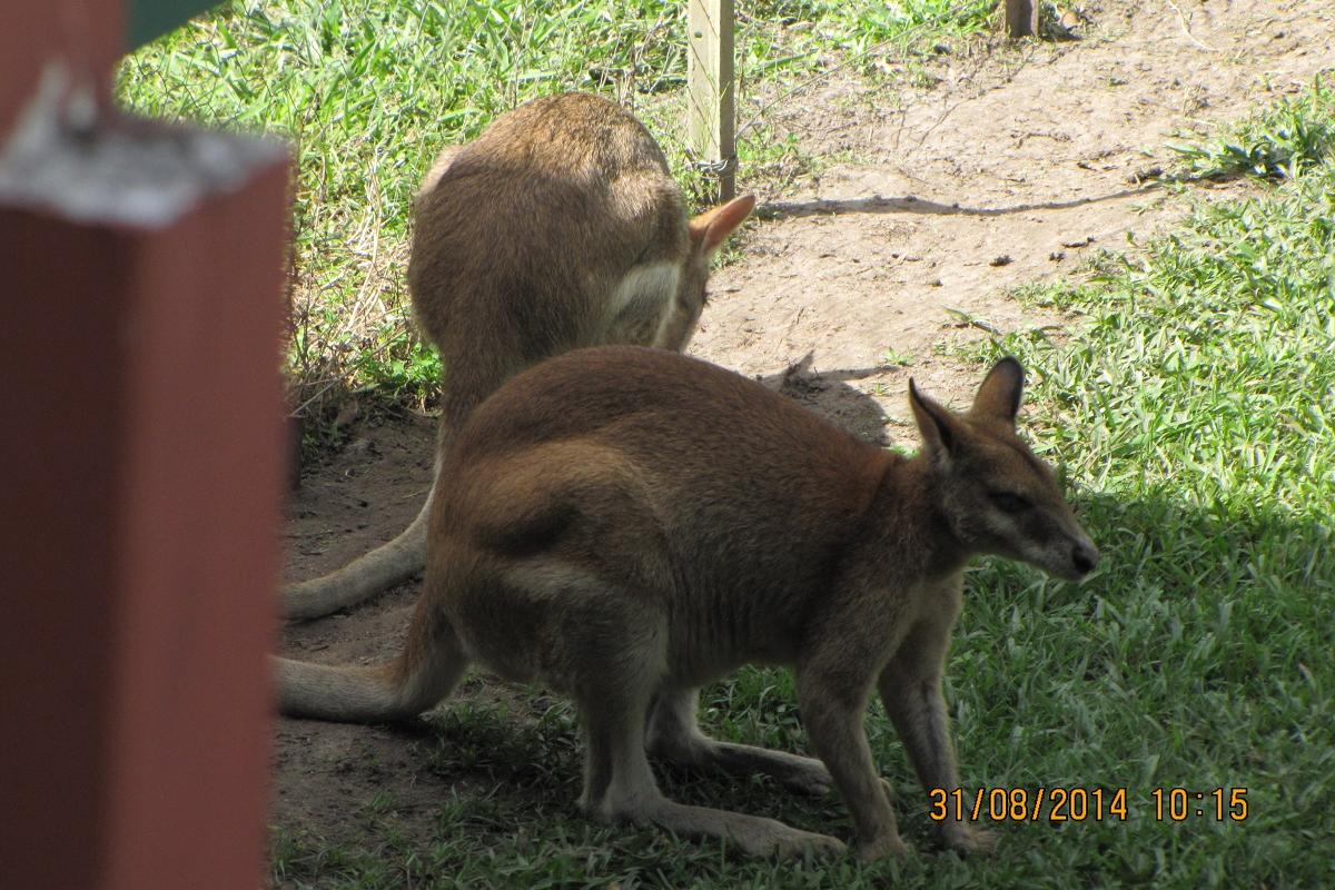 wlt-qld-wallabydowns01.jpg